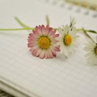 唯美雏菊高清动态壁纸